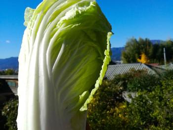 白菜採れ始め