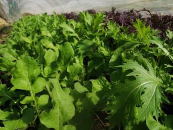 秋のサラダ野菜