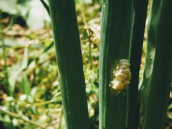 コマユバチの蛹