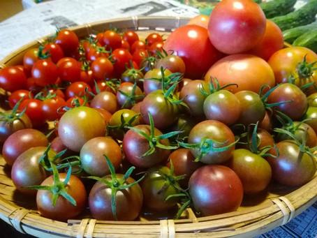 秋トマトは割れにくい