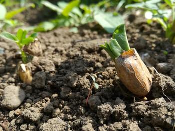 落花生の発芽