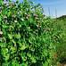 エンドウ、玉ねぎ混植
