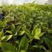 夏野菜の定植期