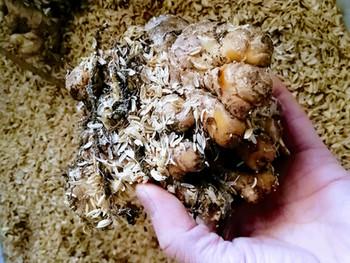 タネ生姜の保存方法(冬越し)