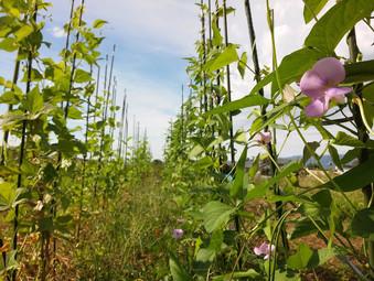 秋の鞘豆類がもう直ぐ
