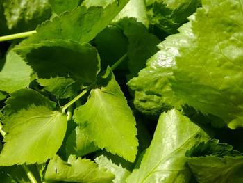 三つ葉は数少ない日本原産種の野菜の一つ