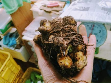 生姜の貯蔵