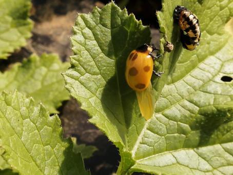 テントウ虫の羽化