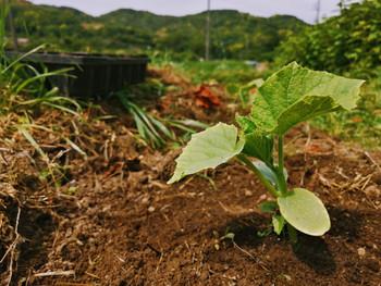 果菜苗の定植ラッシュ