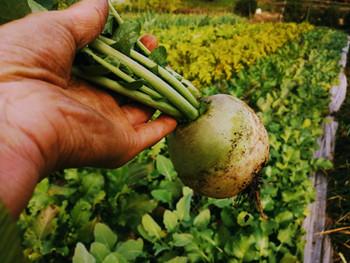 根菜の季節