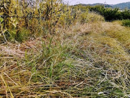 大量の草マルチ