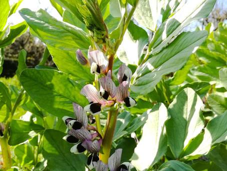 空豆の摘心