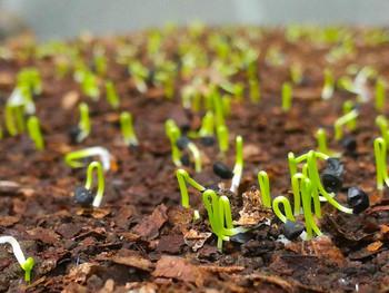 玉ねぎの発芽