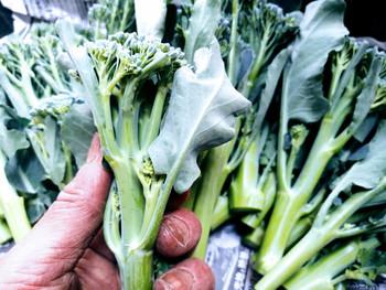 茎ブロッコリーがよく採れる