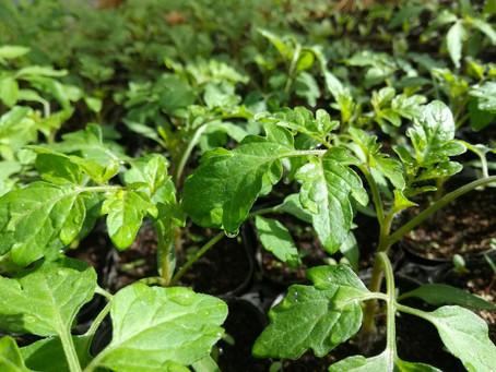 トマトもう直ぐ定植