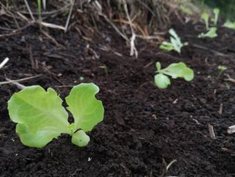 秋冬野菜の定植