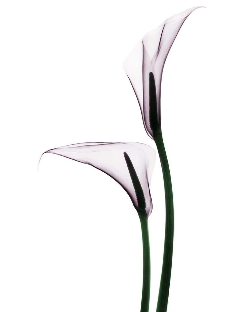 Calla-Lillies-2-.jpg
