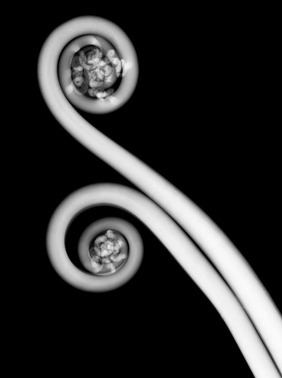 Fiddle Head fern.jpg