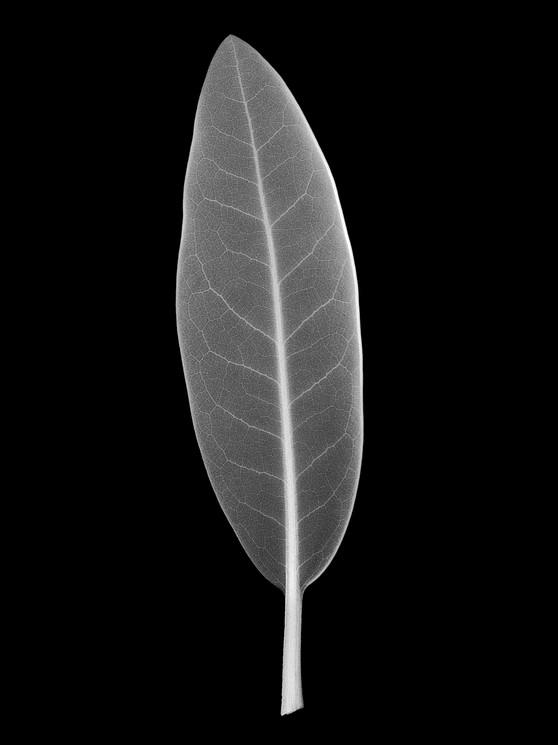 Linear-Leaf.jpg