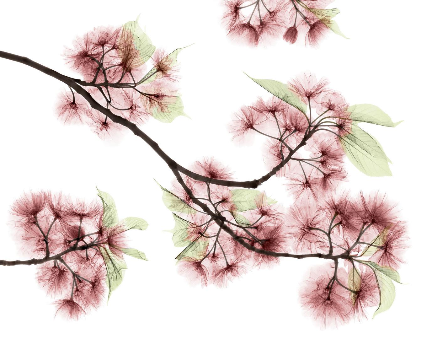 cherry blossoms 2021.jpg