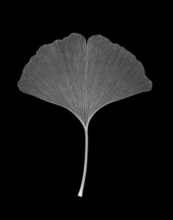 Ginko Leaf.jpg