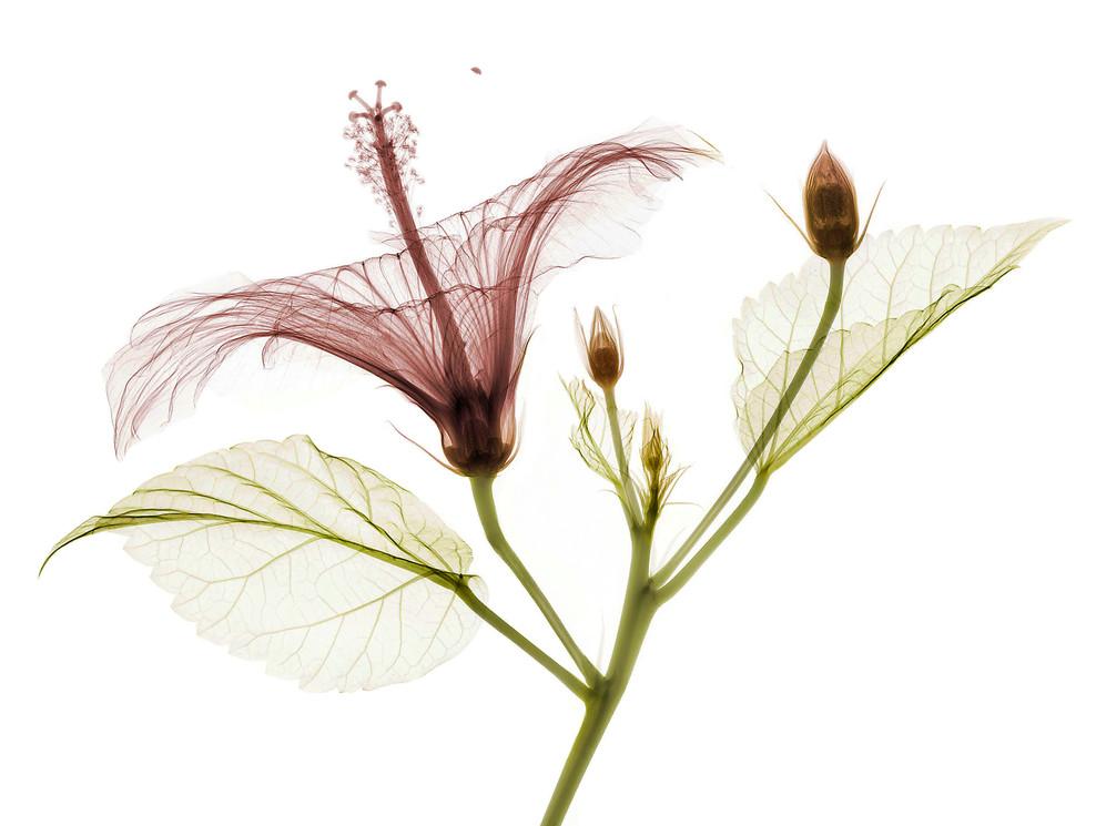 Hibiscus 1 v3 .jpg