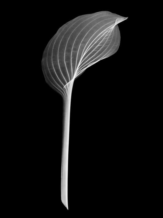 Acanthus-Leaf.jpg