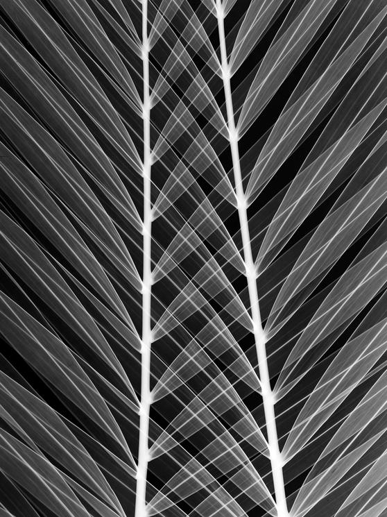 Palm Leaf new 2.tif