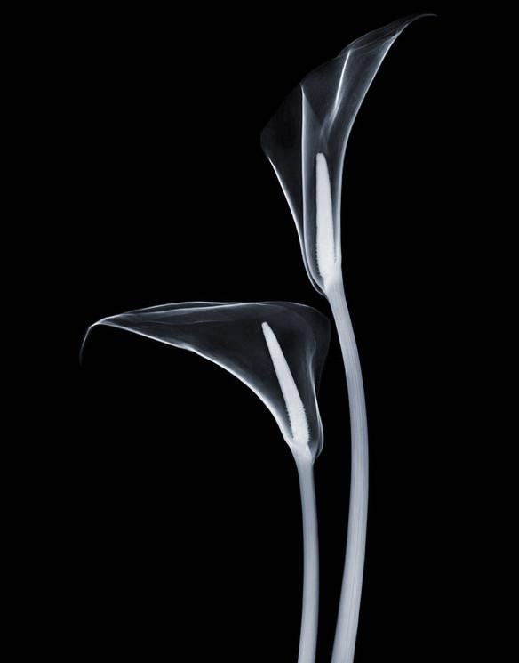 Calla-Lillies-2-neg.jpg