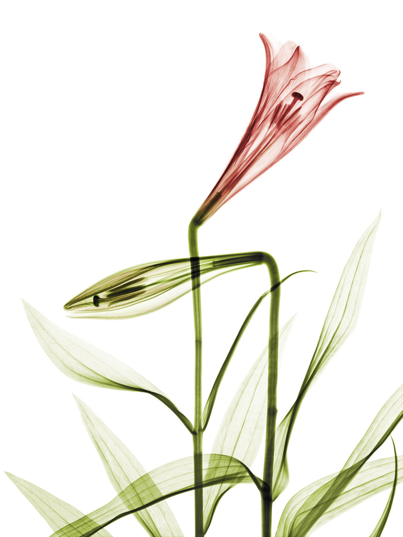 Two-Lillies.jpg