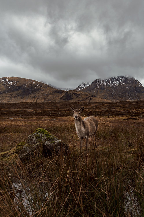 Deer in Glencoe