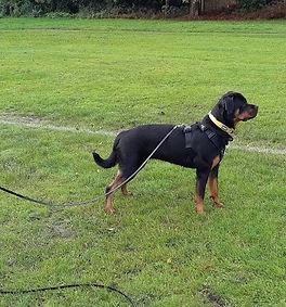 rottweiler (3).jpg