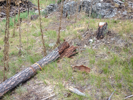 Fallen Tree on Hillside