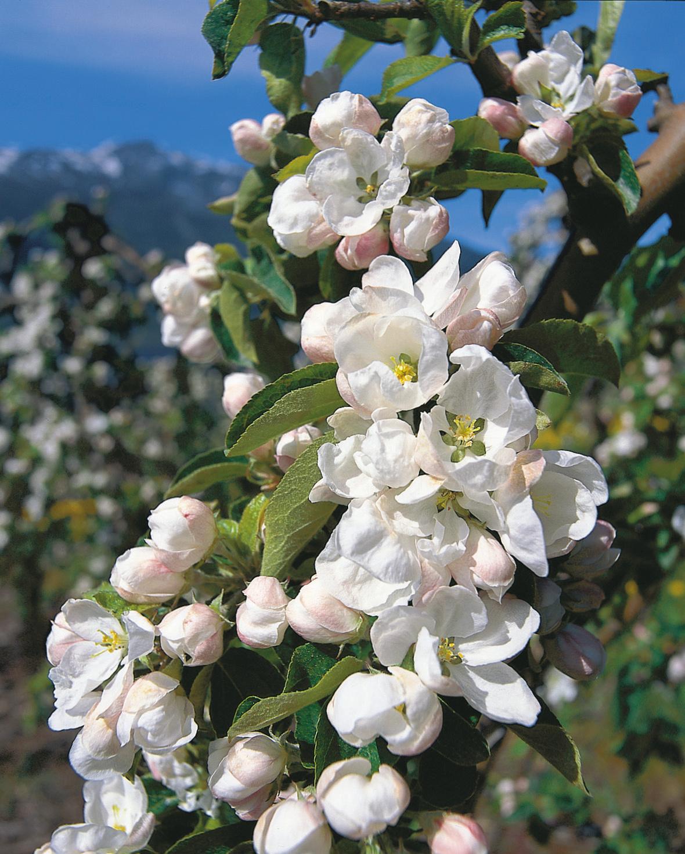 Blomstring-narbilde-av-epletre-30754