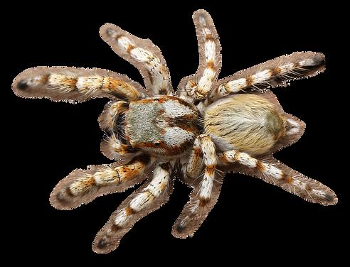 purepng.com-spideranimalspiderdangerouss