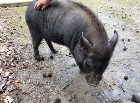 Our Newest Campfire Critter: Winston the Mini Pig