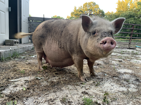 Shakira is Pregnant! #pigletwatch