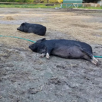 Lazy piggies! Ava and Doug enjoying an a
