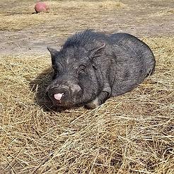 🐽Gordon! #piggy #pigsofinstagram #rescu