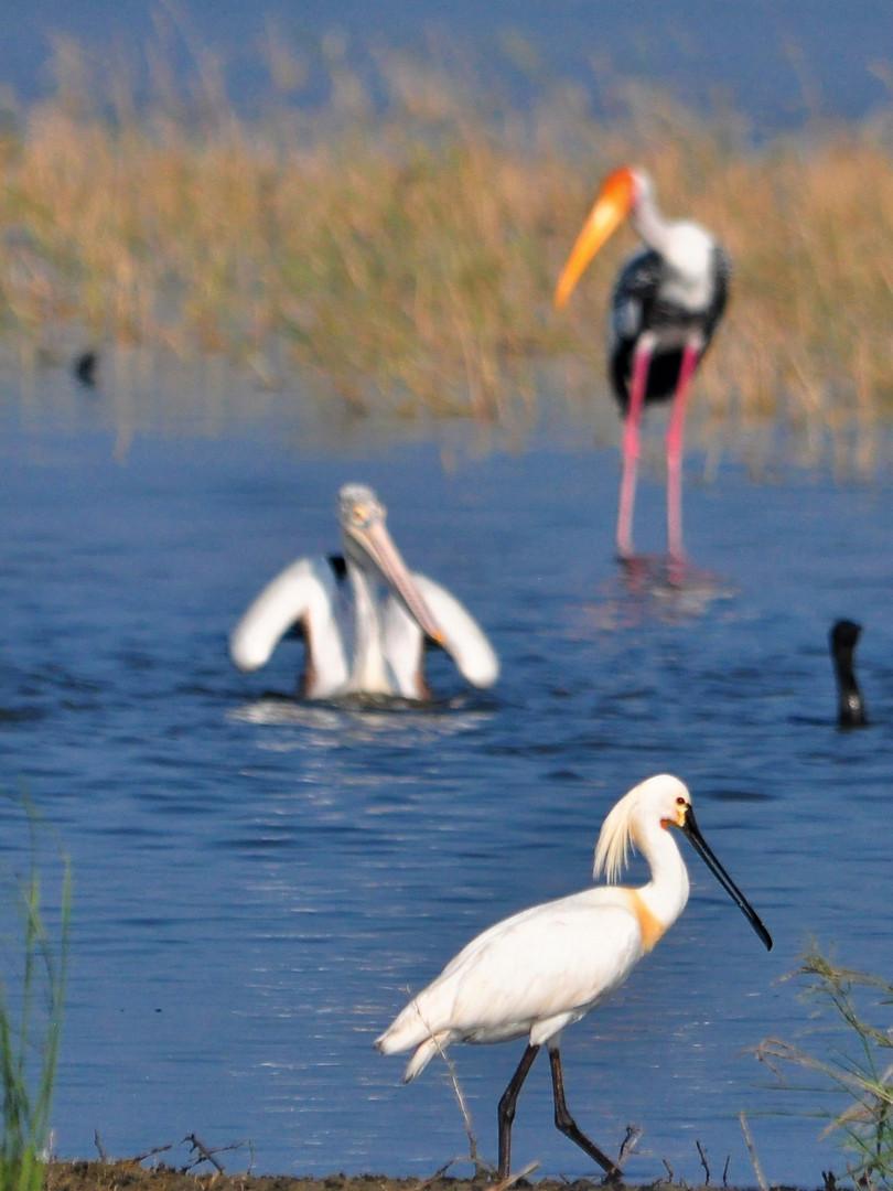 Mannar Peninsular Birding Migratory Chase