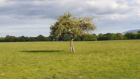 The Hawtorn Tree, Phoneix Park, Dublin, Ireland