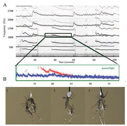 AcousticsMating_Aedes.jpg