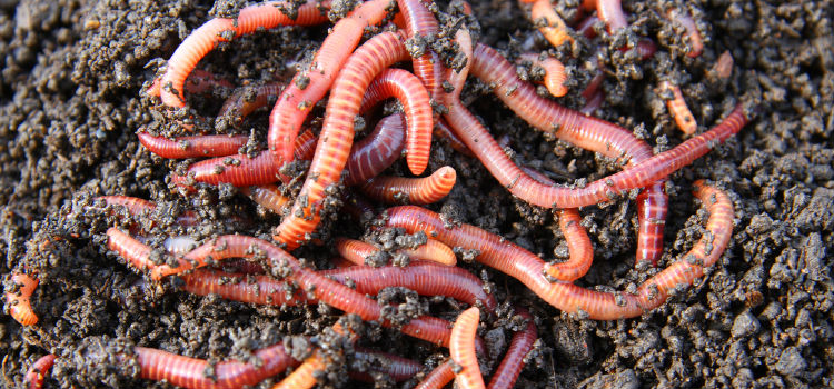 Pixlr-red-worms-in-compost2
