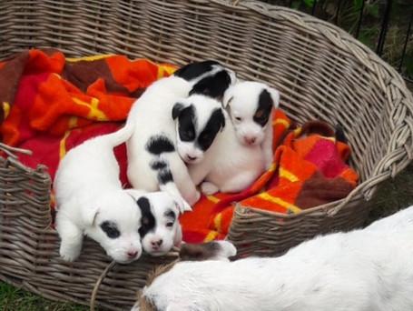 Belle heeft pups