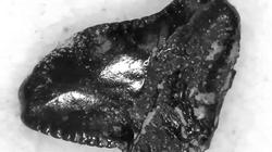 SharkFinder Fossil Teeth