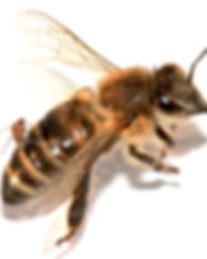 ZomBee Watch Citizen Science Parasitized Honeybee Research