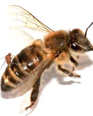 ZomBee Watch Citizen Science Parasitized Honeybee Research