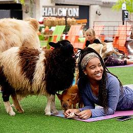 Farm Animal Yoga on the Green at Halcyon