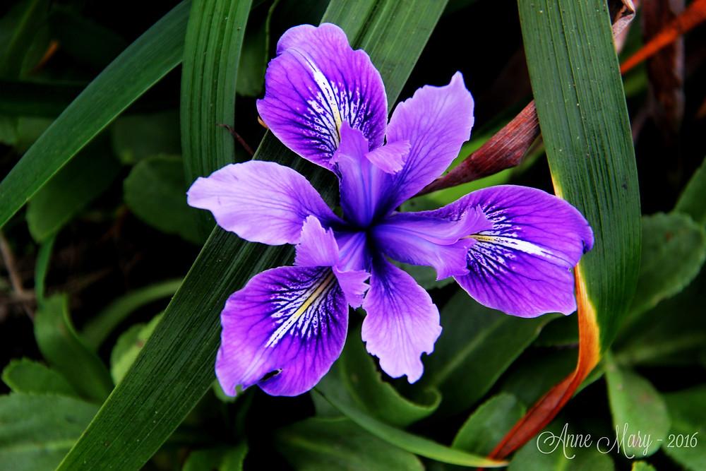 Wild Iris in Bloom