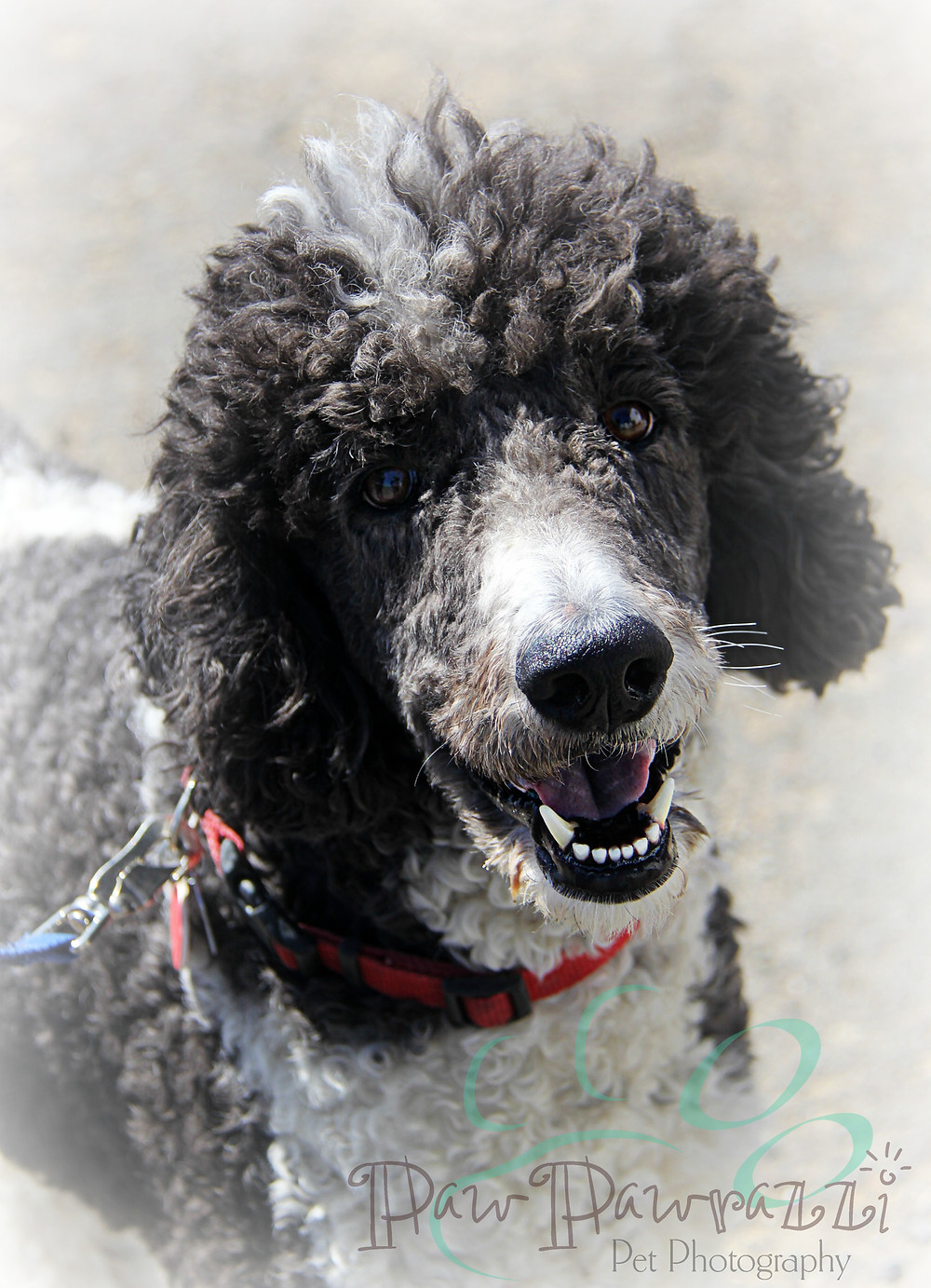 Party Poodle Bandit is all smiles!